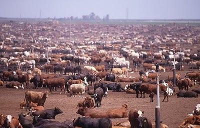 beef cattle.jpg